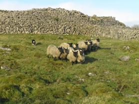 Die Schafherde ist aufmerksam